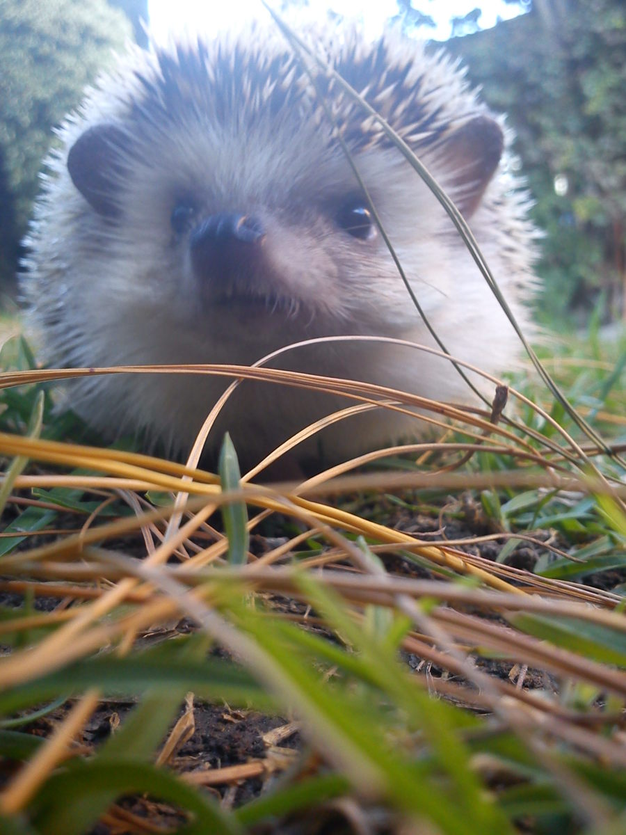 "A picture of my actual African pygmy hedgehog named ""Eric""."