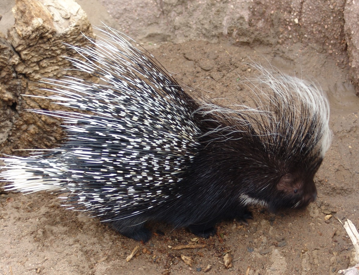 Are hedgehogs and porcupines really similar? This is a crested porcupine.