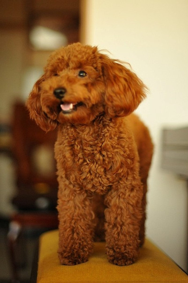 This is what most Toy Poodles look like when kept as pets.