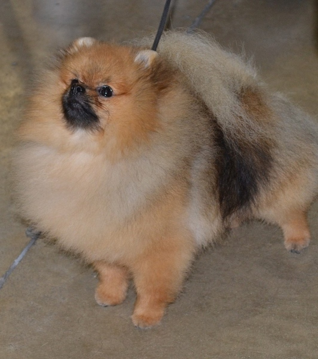 Pomeranians are really fluffy.