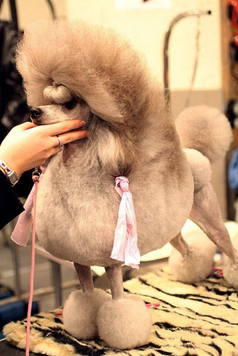 "This is what most people think of when they hear ""Toy Poodle""."