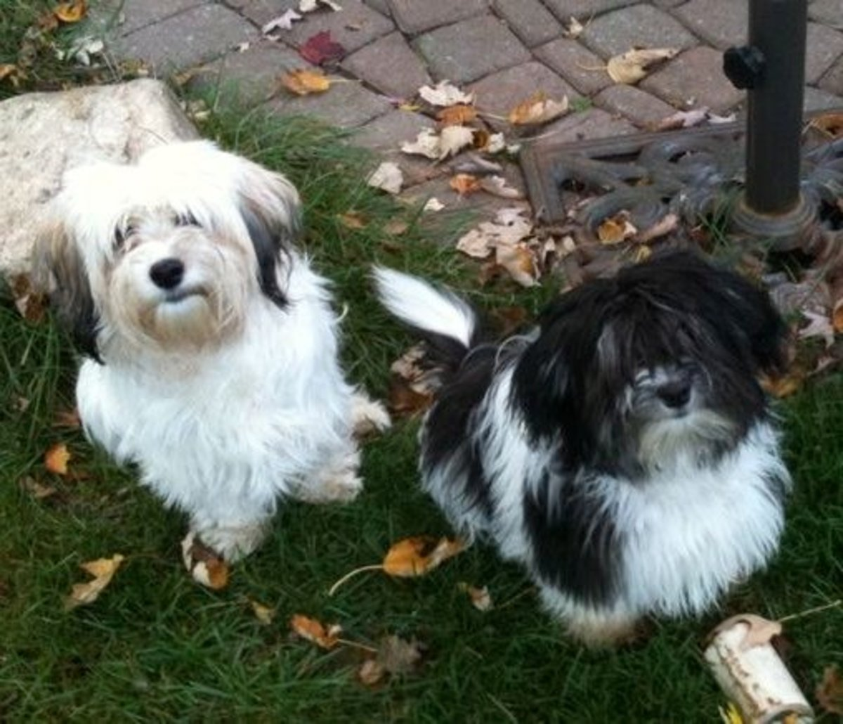 Havanese can be seen in many colors.