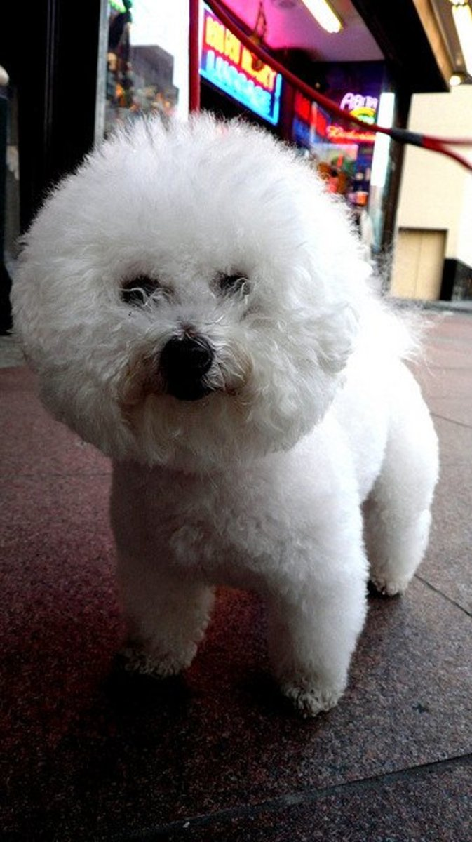 The Bichon can be trimmed to be less fluffy.