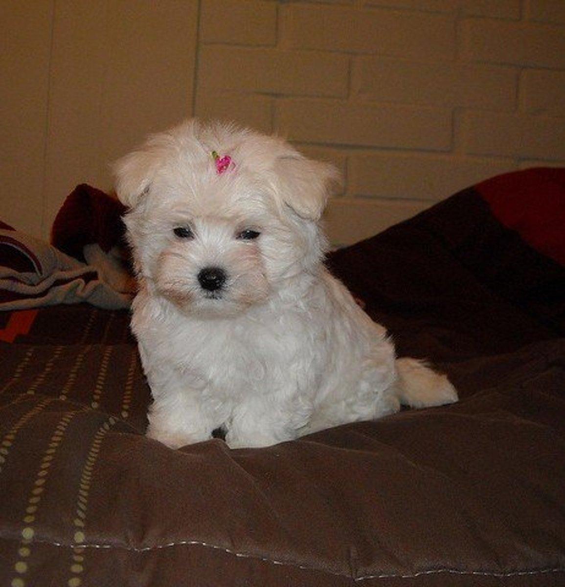 A tiny, fluffy, Maltese puppy.