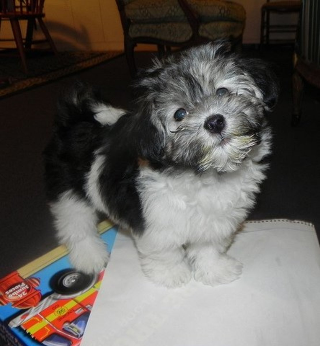 Housebreaking needs to take priority, but don't forget about a great new name for your Havanese!