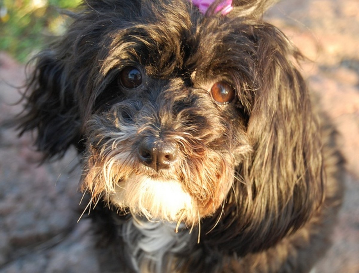 Some Havanese become depressed if given a common and overused name (kidding-but dont do it!).