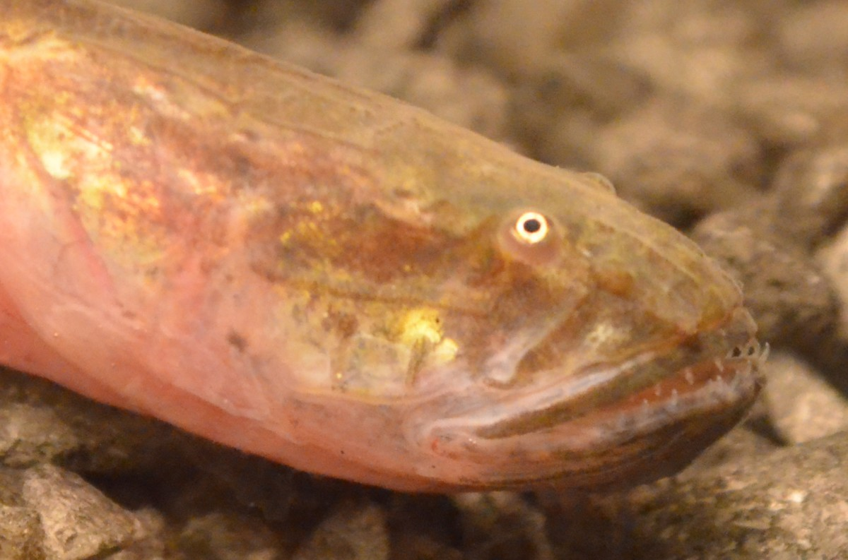 Violet Goby : How to Care for a Violet Goby (Dragonfish)