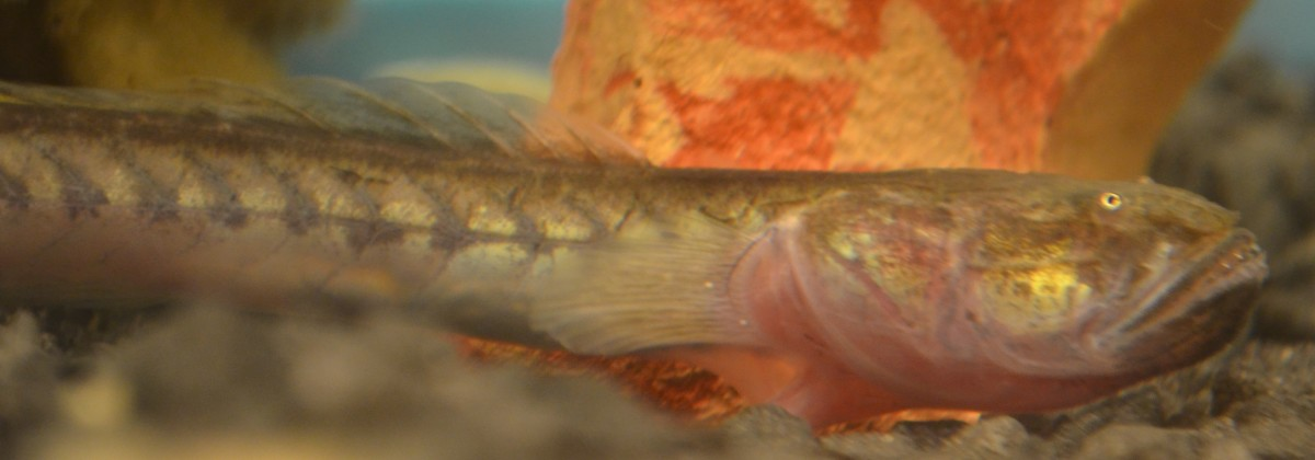 When well cared for and kept in brackish waters, Dragonfish can live for over 10 years!