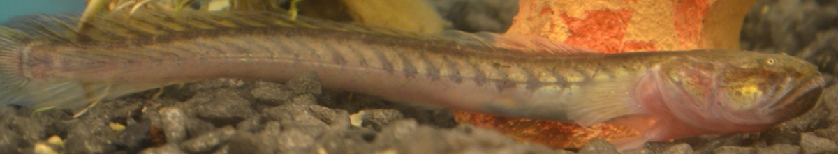 The beautiful length of a violet goby.