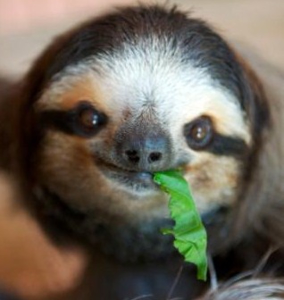 Three-toed sloths are extremely hard to keep alive.