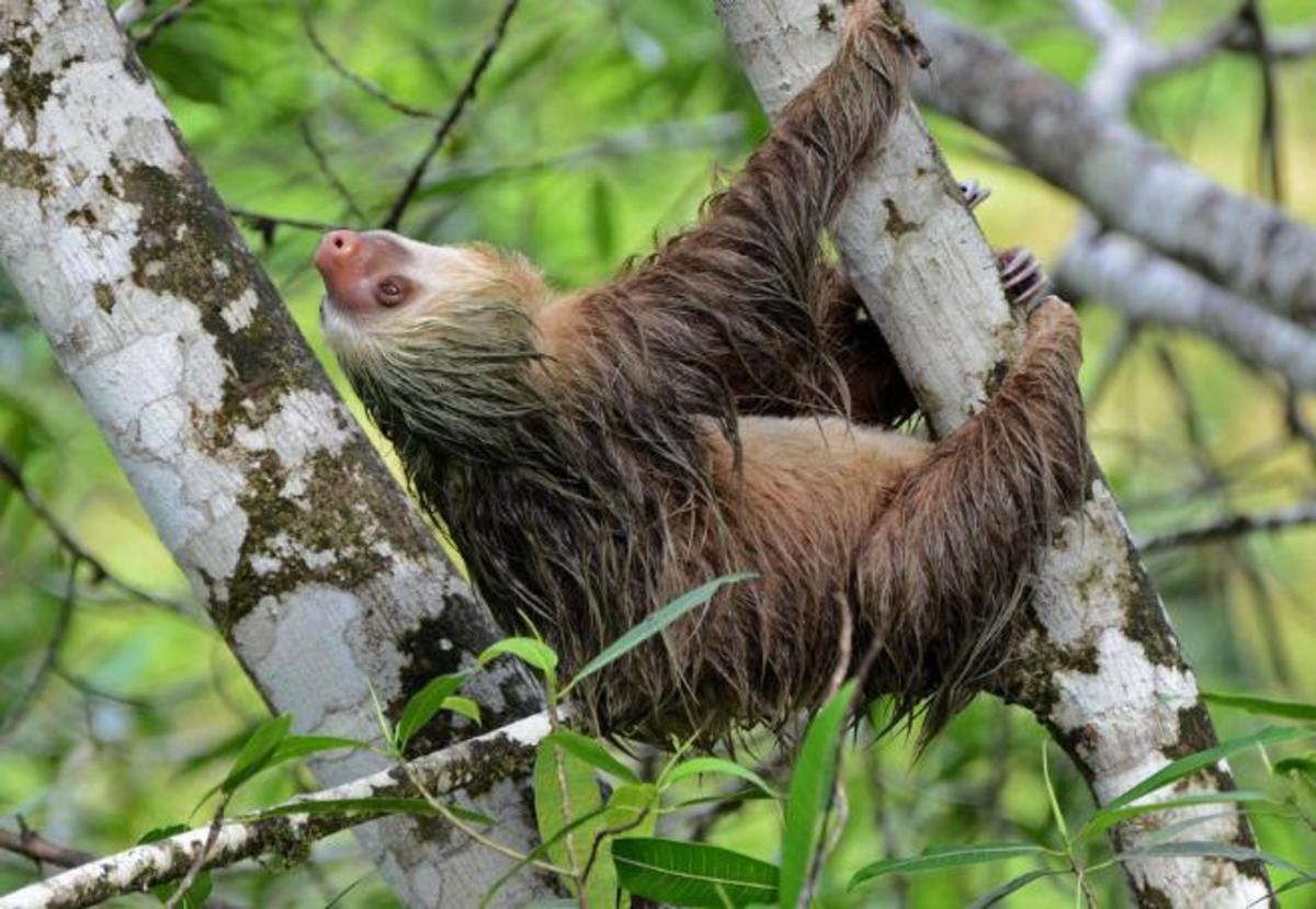 A sloth in the wild