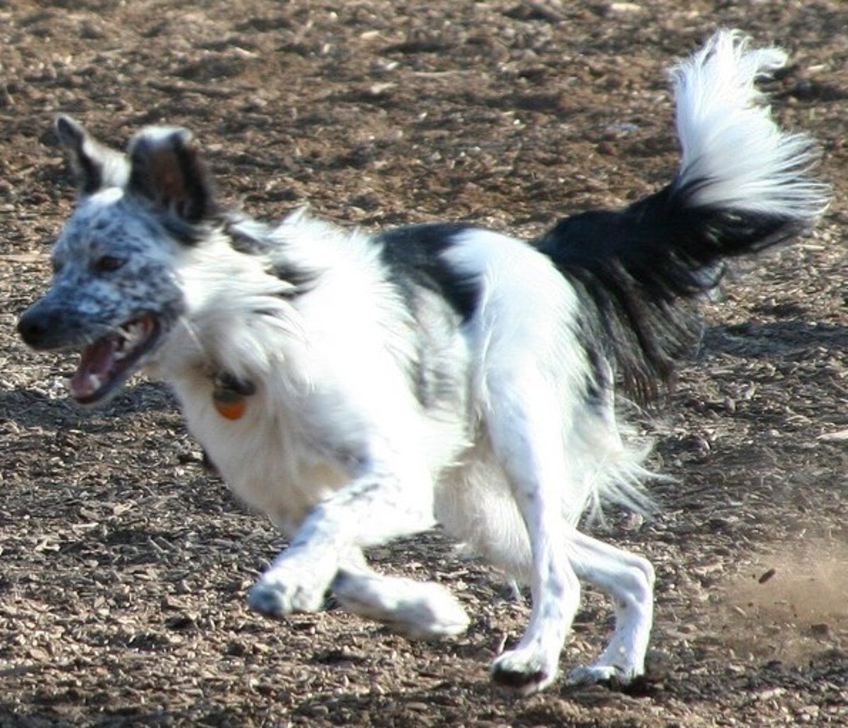 Border Collies have been developed for performance, and sometimes dogs look different than the norm.