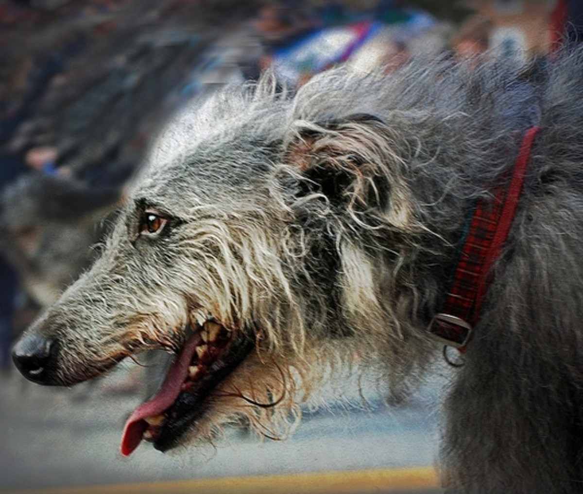 Scottish Deerhound look a lot like Greyhounds.