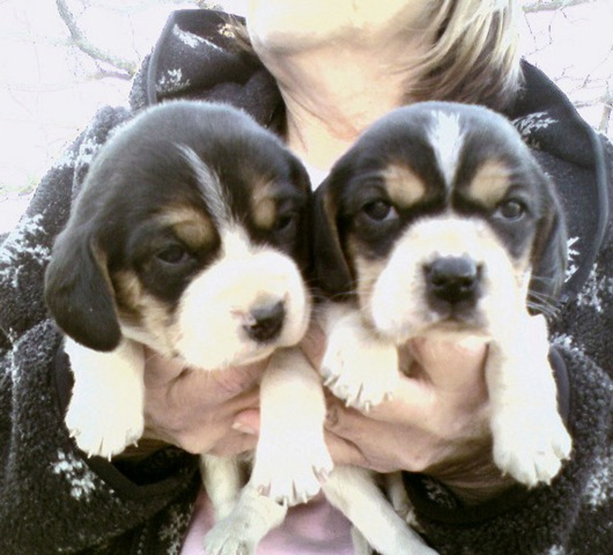 Beagle puppies.