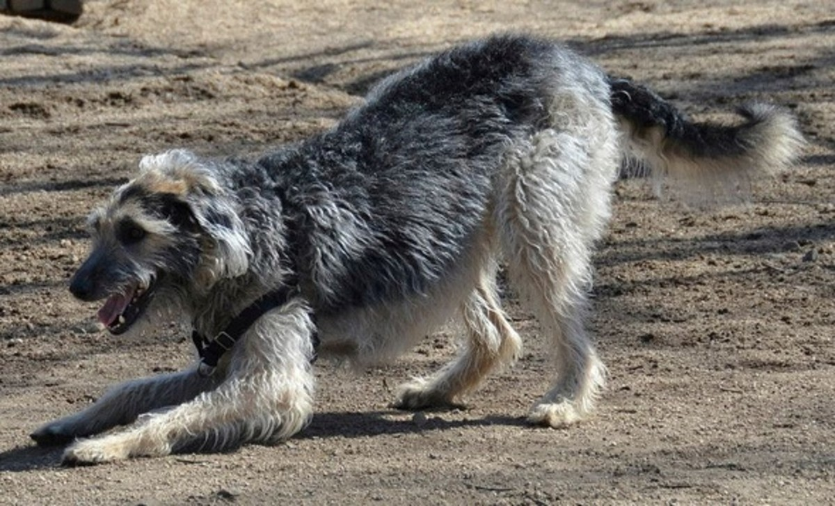 Scottish Deerhound may look big, but they still act like puppies sometimes.