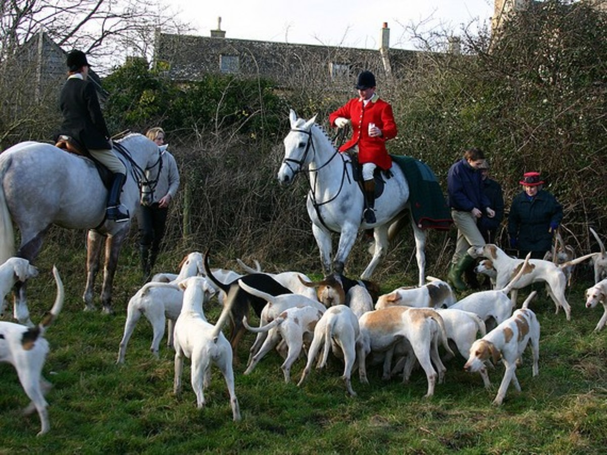 A pack of English Foxhounds ready to hunt.
