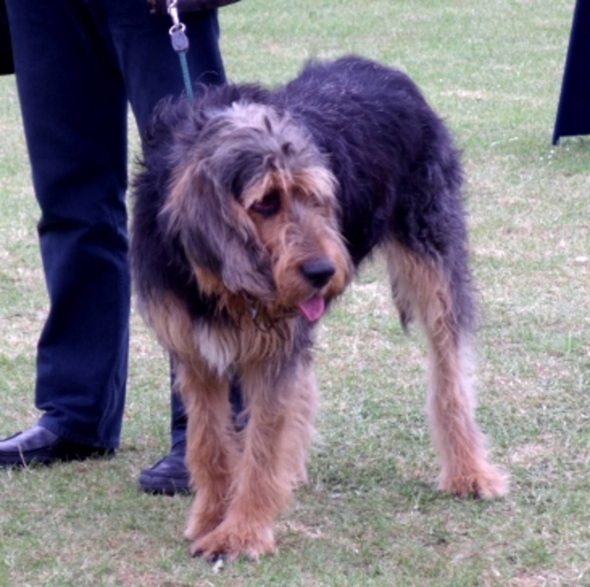 An adult Otterhound.