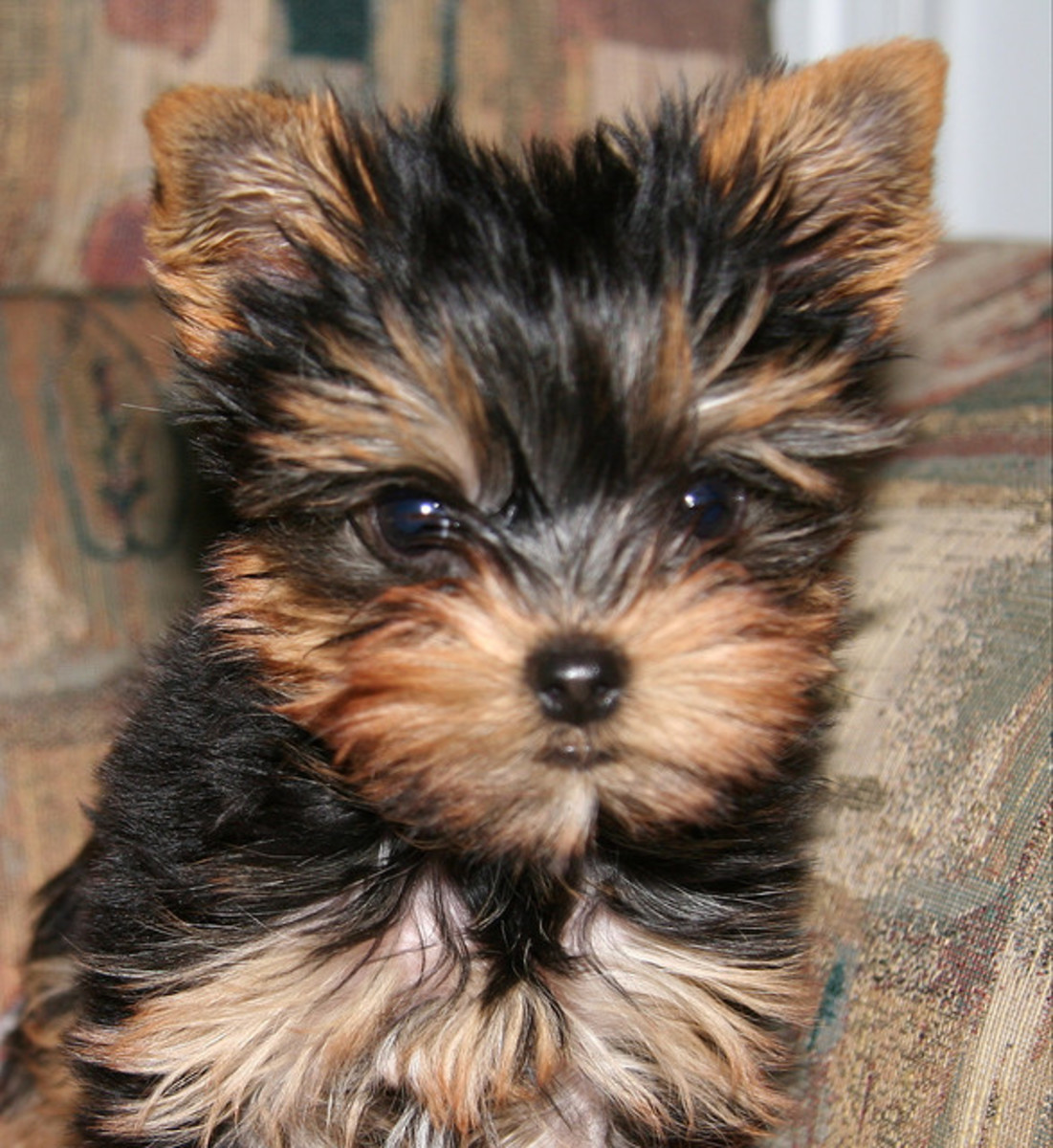 A Yorkshire Terrier puppy.