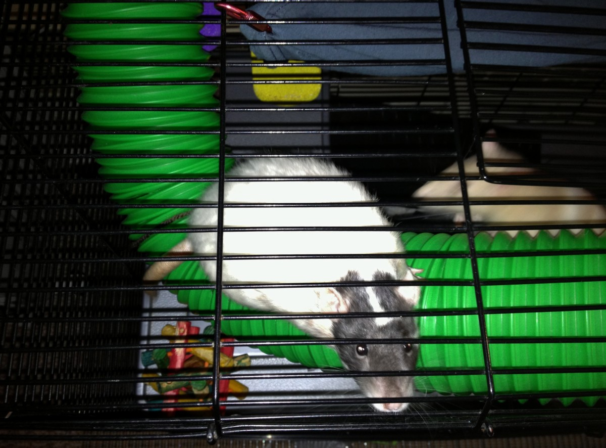 While your rats may want to hang outside, they are better off as strictly indoor pets.