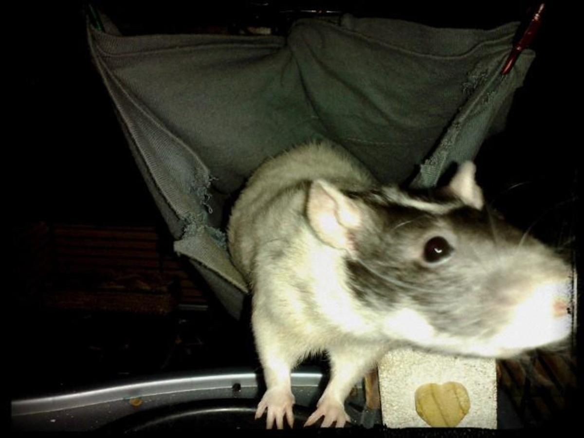 Gadget has her lazy moments, but she is normally a very hyperactive pet rat!