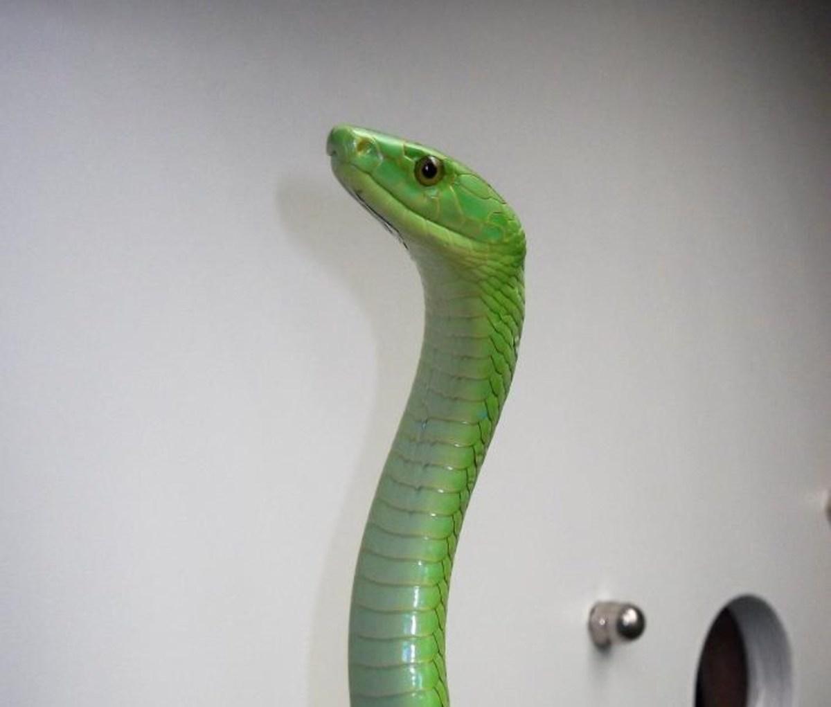 A mamba (venomous)