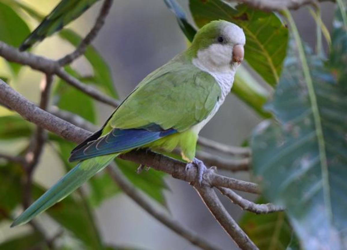 Quaker parrots are invasive in northern states.