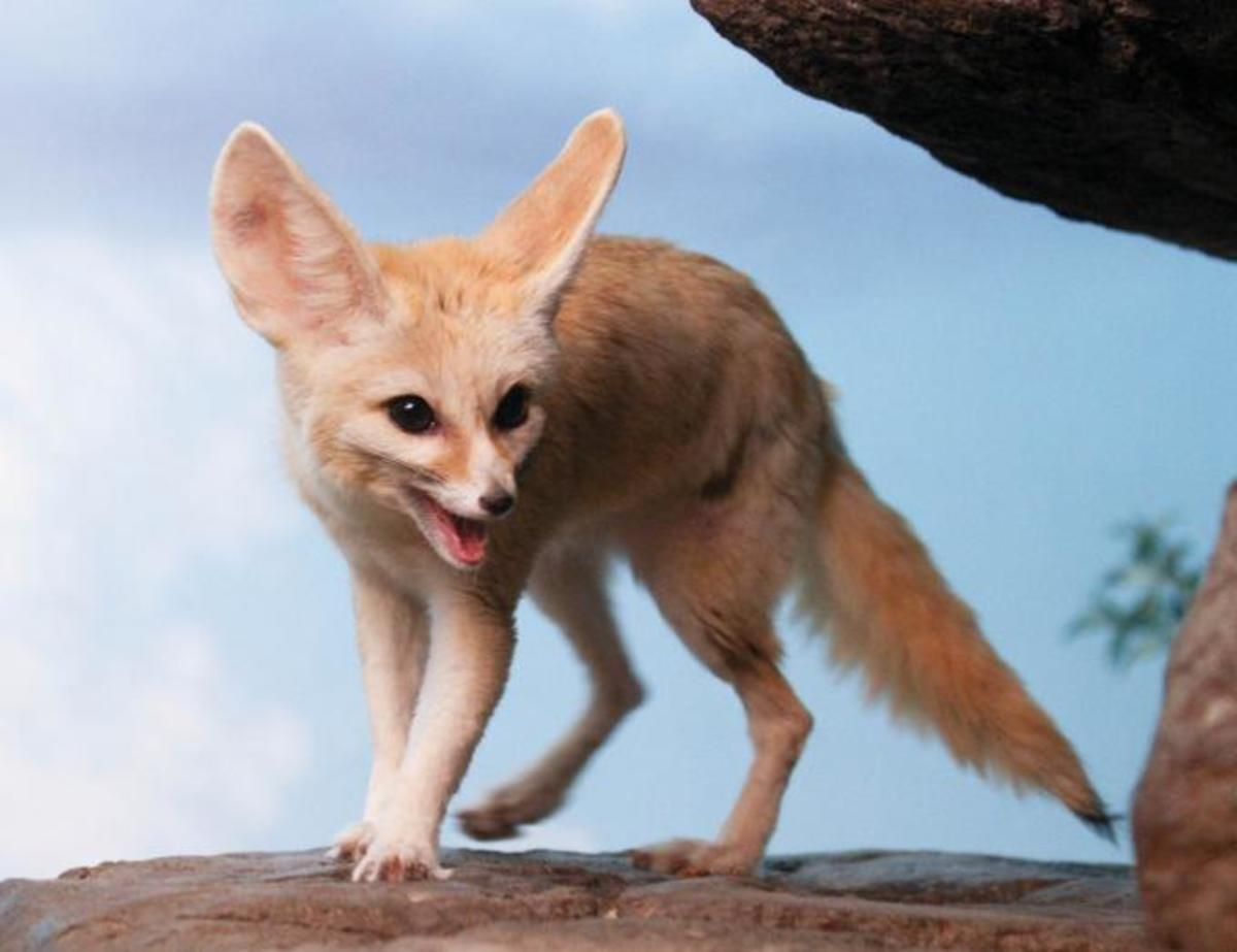...and small (a fennec fox).