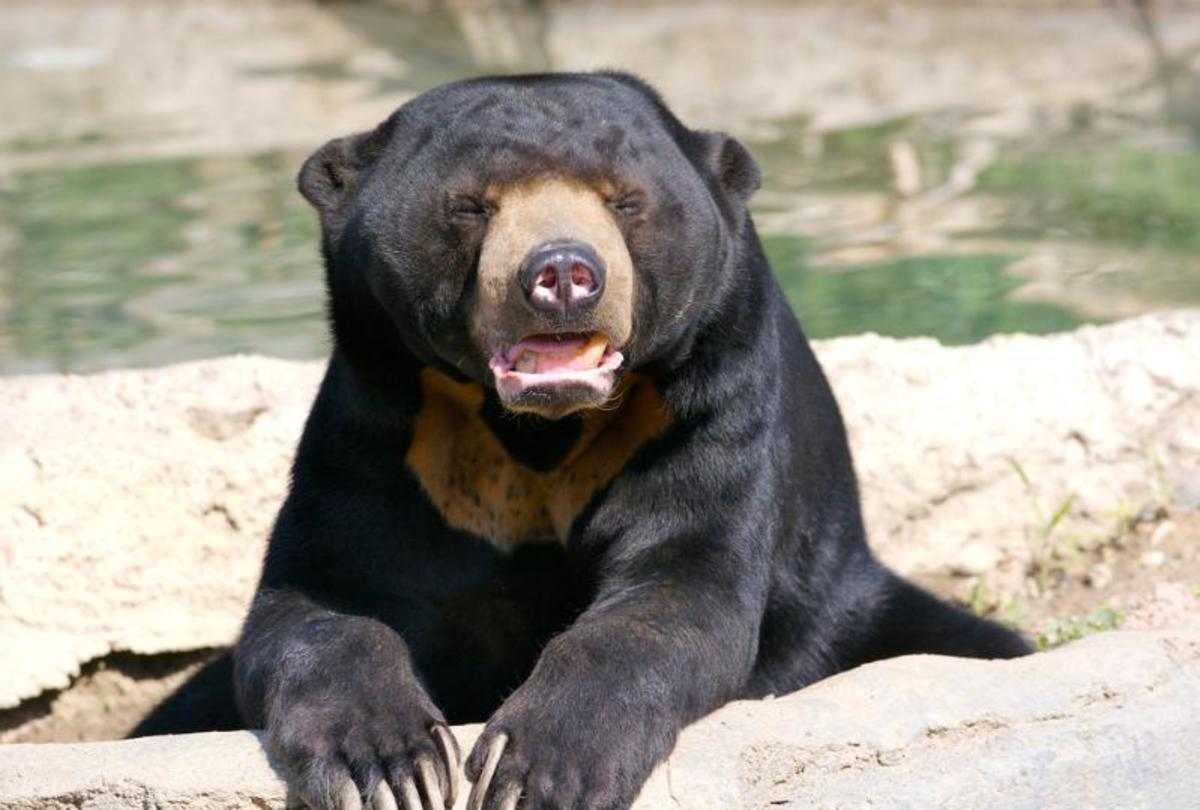 "A sunbear ""Ursidae."" Animals in this group (carnivora) can be big..."