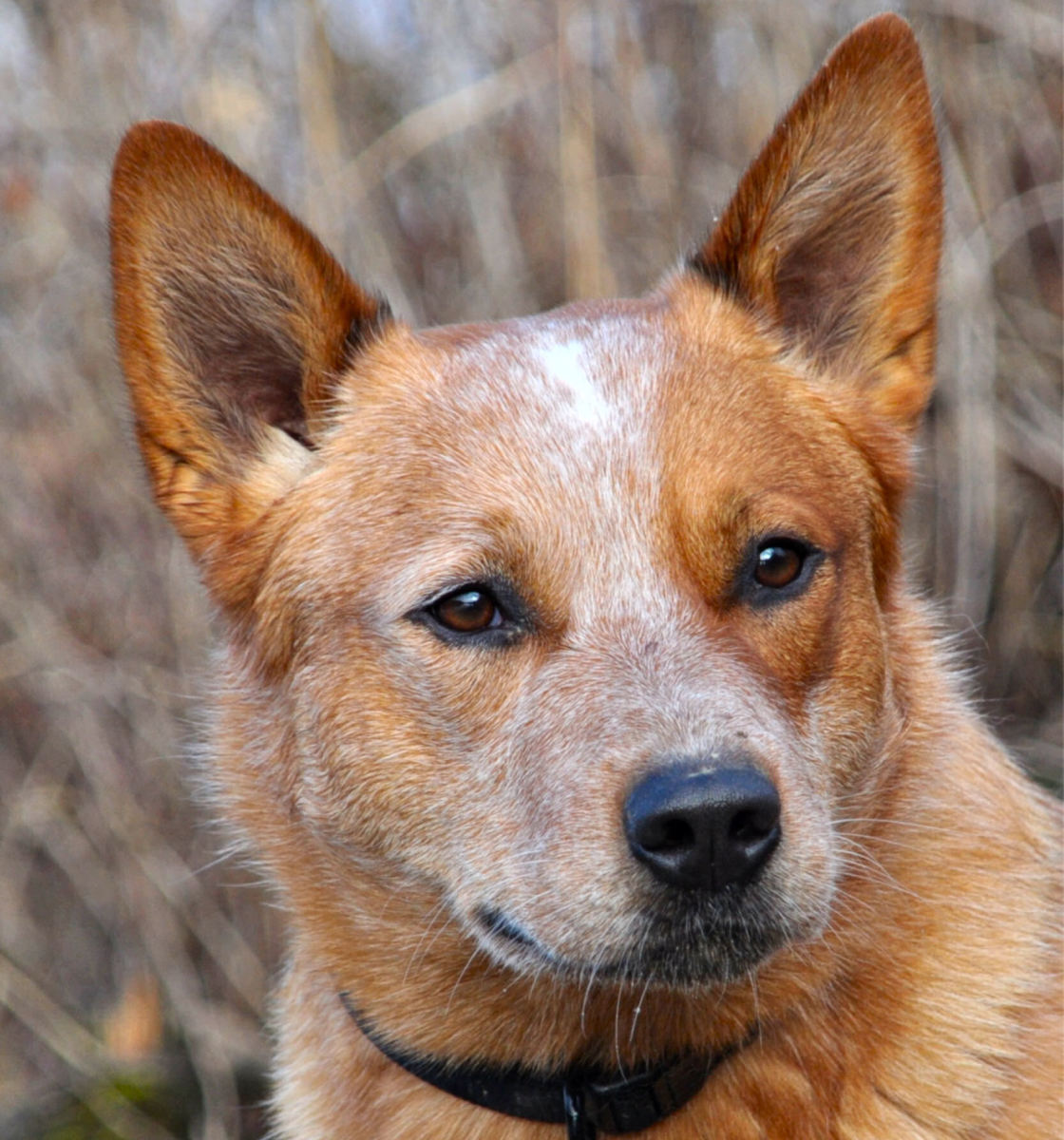 An Australian Cattle Dog's head.