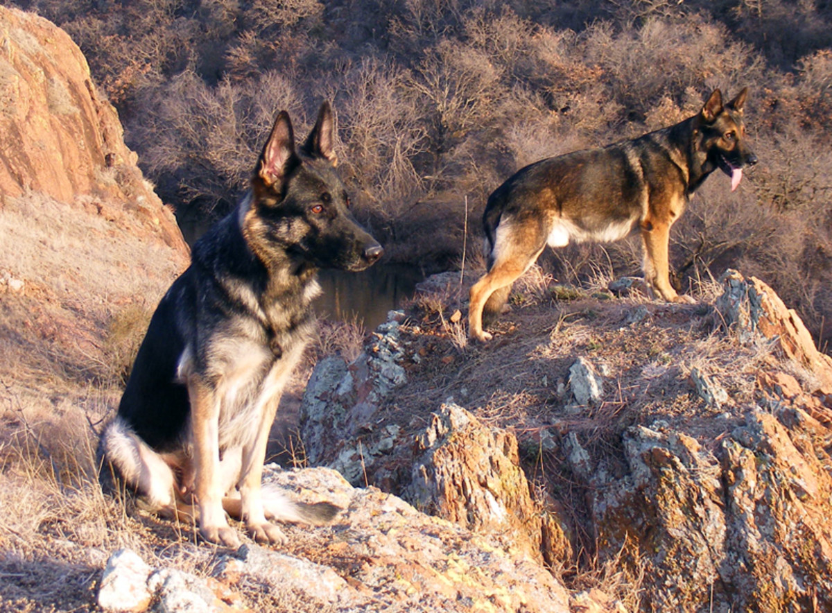 Two German Shepherds; a female on the left, and a male on the right.