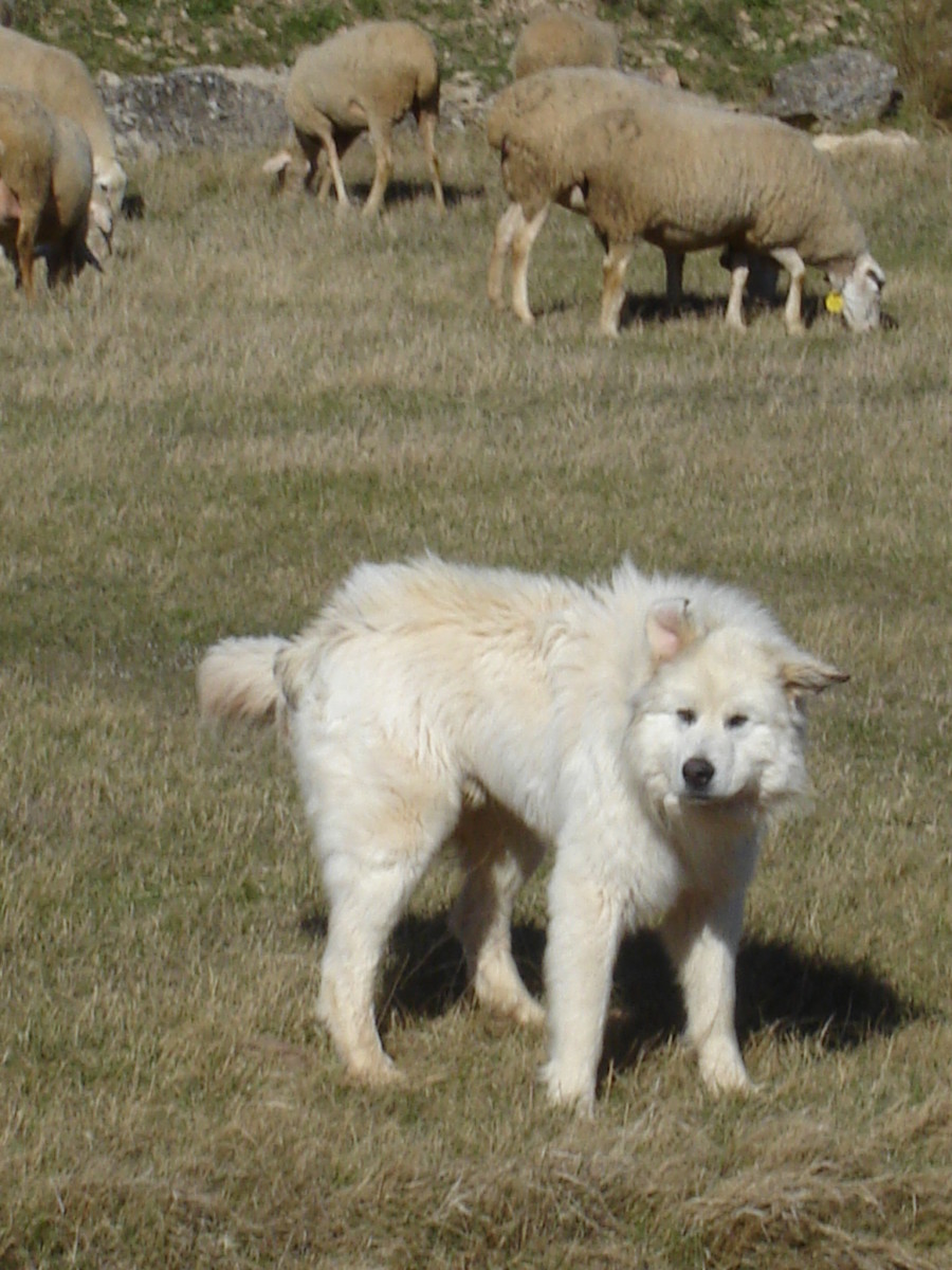 A Great Pyrenees guarding sheep.