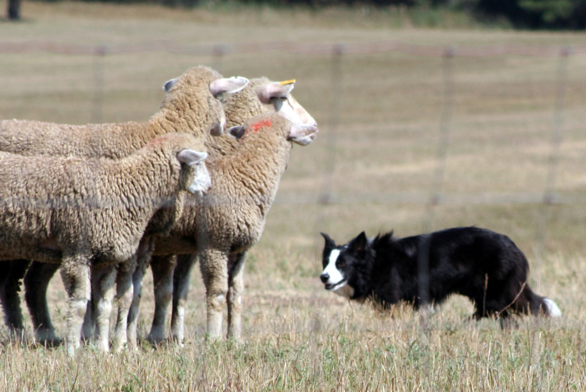 "A Border Collie ""giving the eye"" to some sheep."