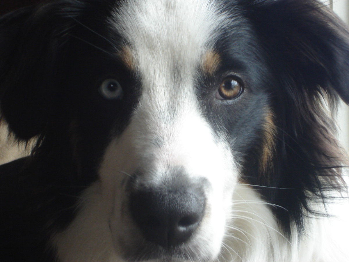 A heterochromatic English Shepherd, a rare trait.