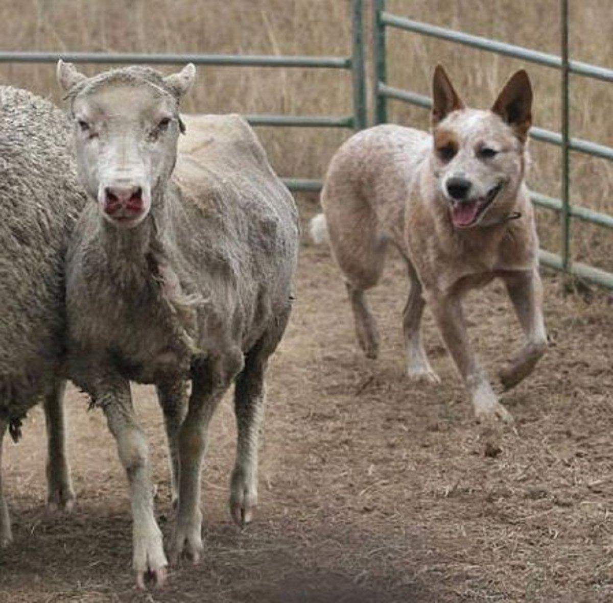 An Australian Cattle Dog herding sheep.