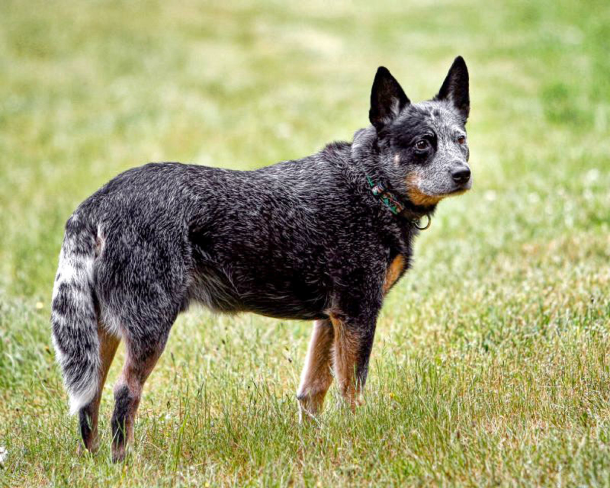 "An Australian Cattle Dog showing a ""blue"" coat.  This dog might be called a ""Blue Heeler""."