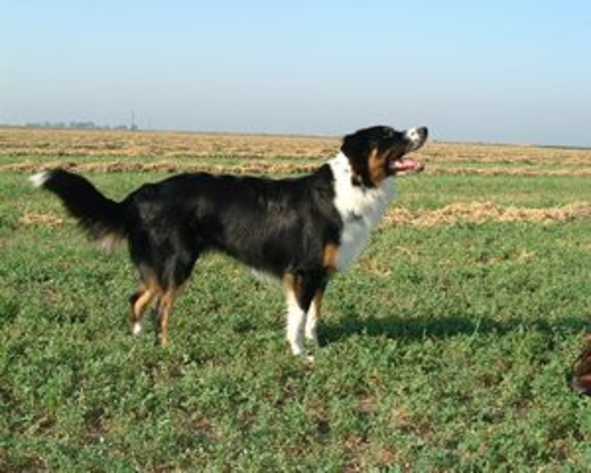 A tricolor English Shepherd.