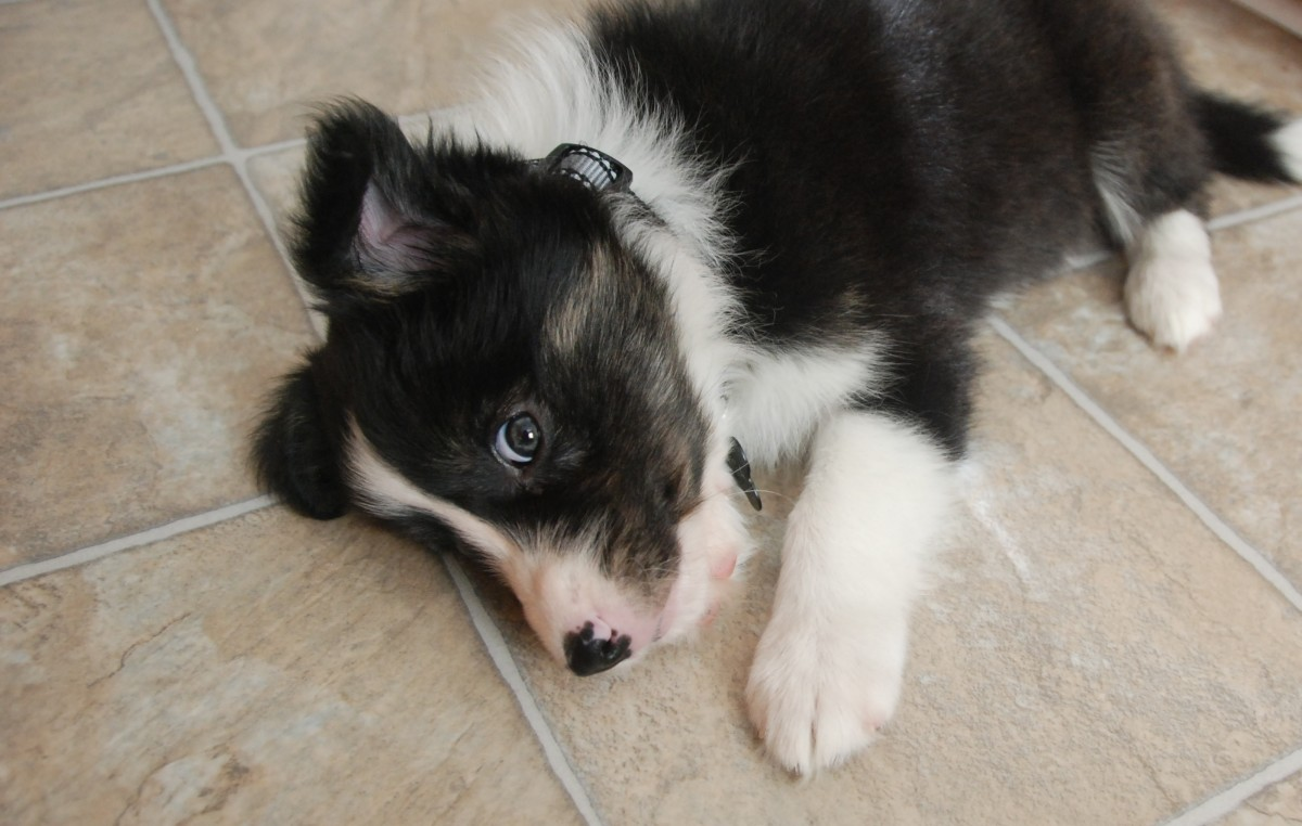 A Border Collie puppy.