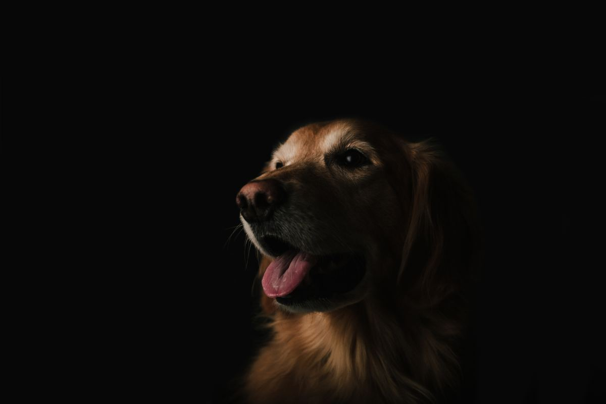 According to healthypets.mercola.com, between 60 and 80% of all golden retrievers will die from some form of cancer.
