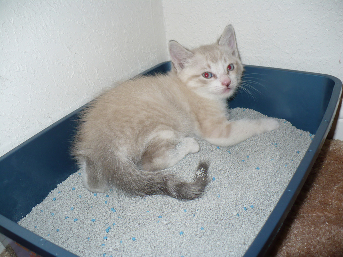 Check the litter box frequently for unusual stools, whether the kitten has diarrhea or constipation. Mass produced kitten food can cause many issues with your kitty cat!