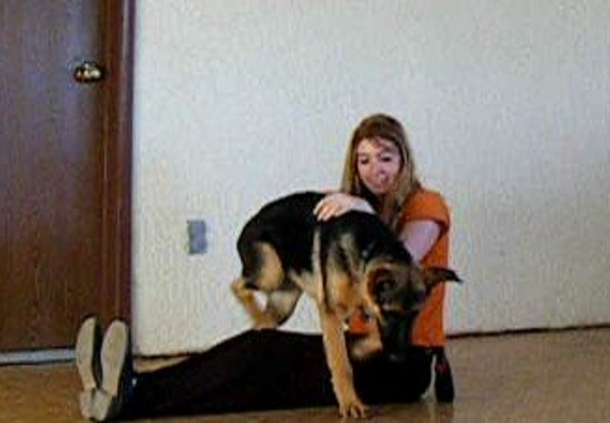 Getting puppy used to enjoy basic handling.