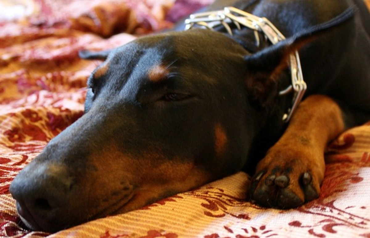 Even napping, Dobies are loyal and watchful.