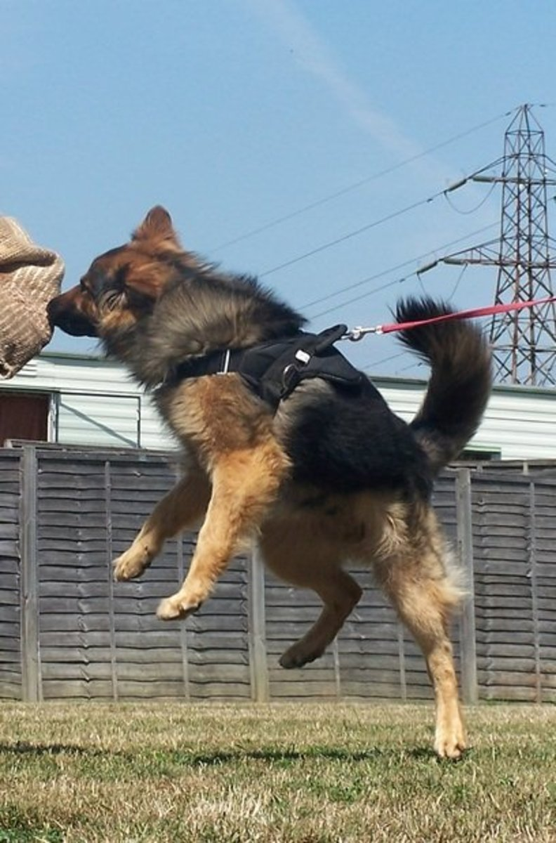 A German Shepherd Dog working in personal protection.