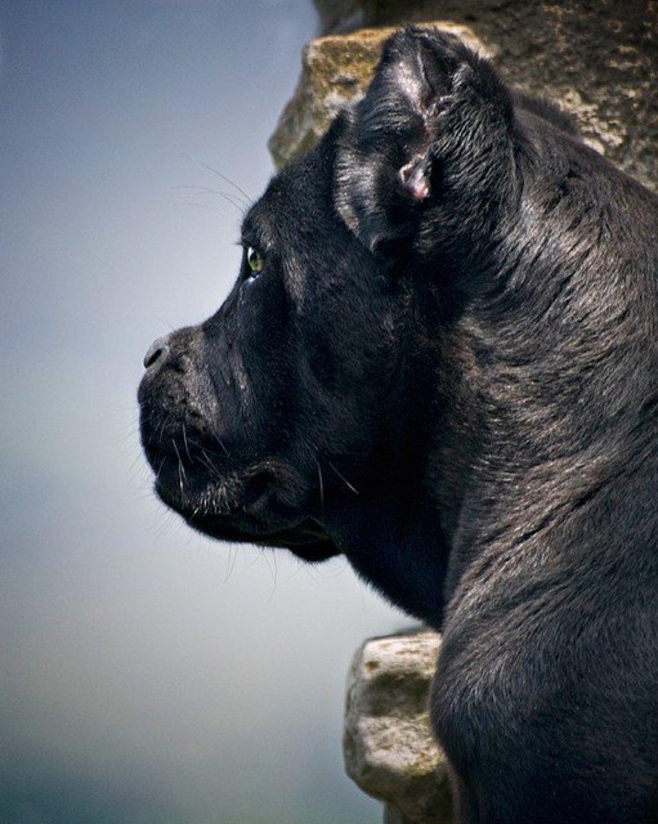 A Cane Corso in profile.