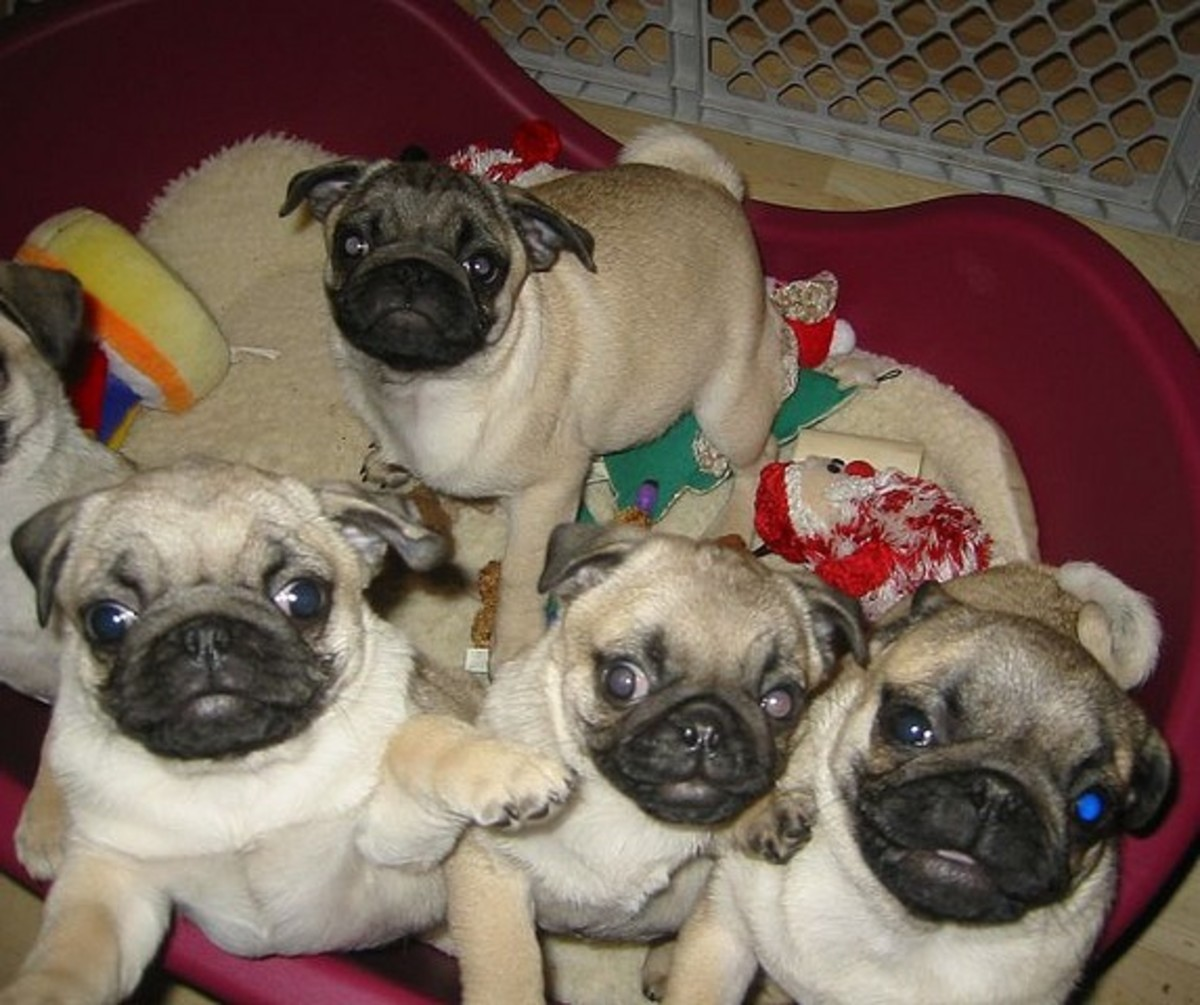 Do all these Pug puppies need unique names?
