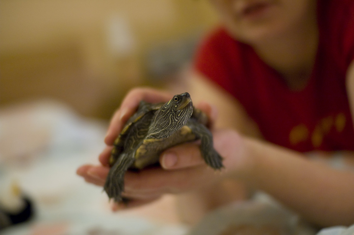 Everyone should always wash their hands after handling turtles, wild or captive bred.