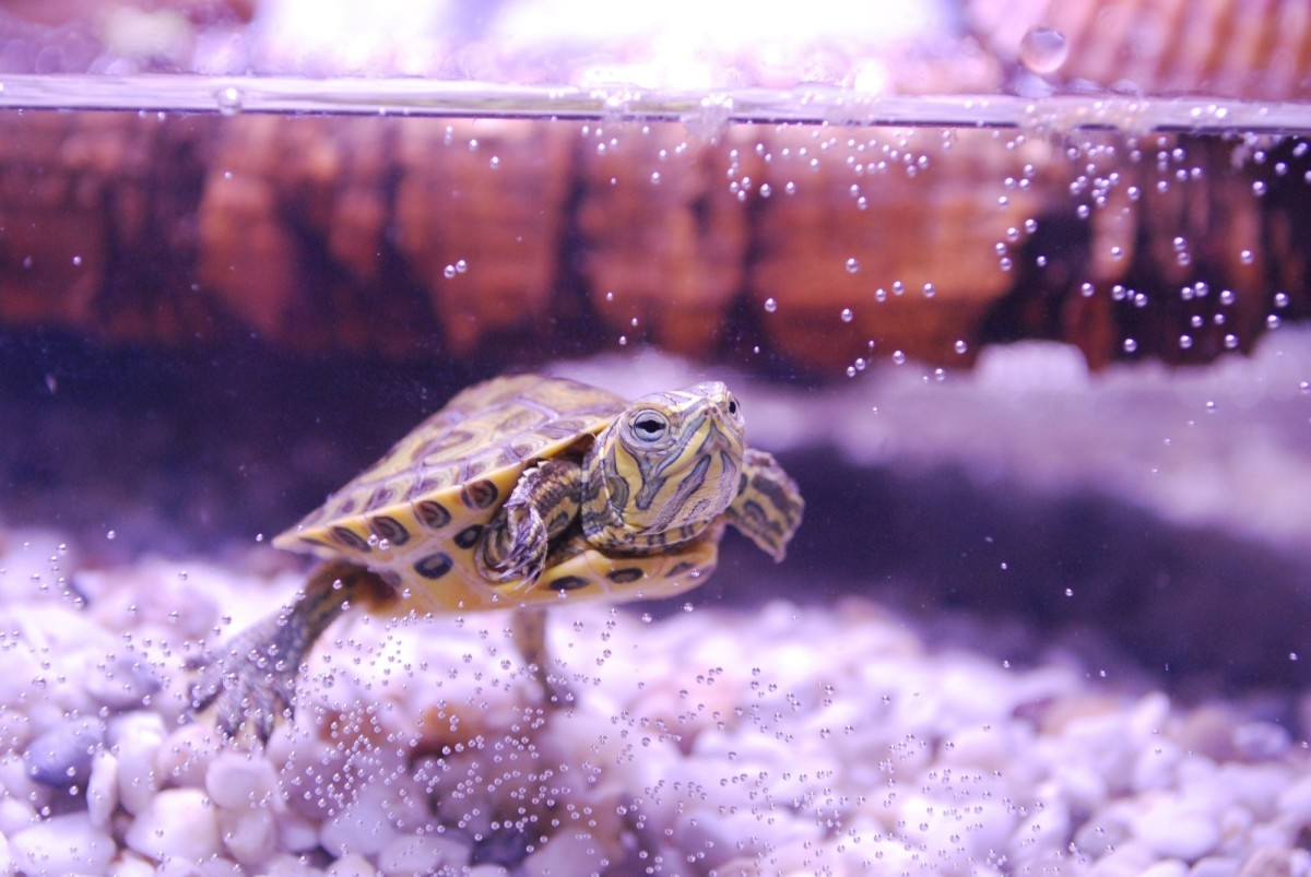 Turtles require a large tank, filter, heater, basking lamps, and more to stay healthy.