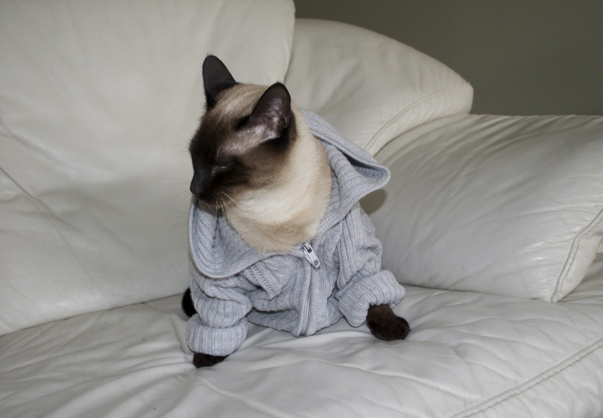 Here is an example of an angry Siamese.
