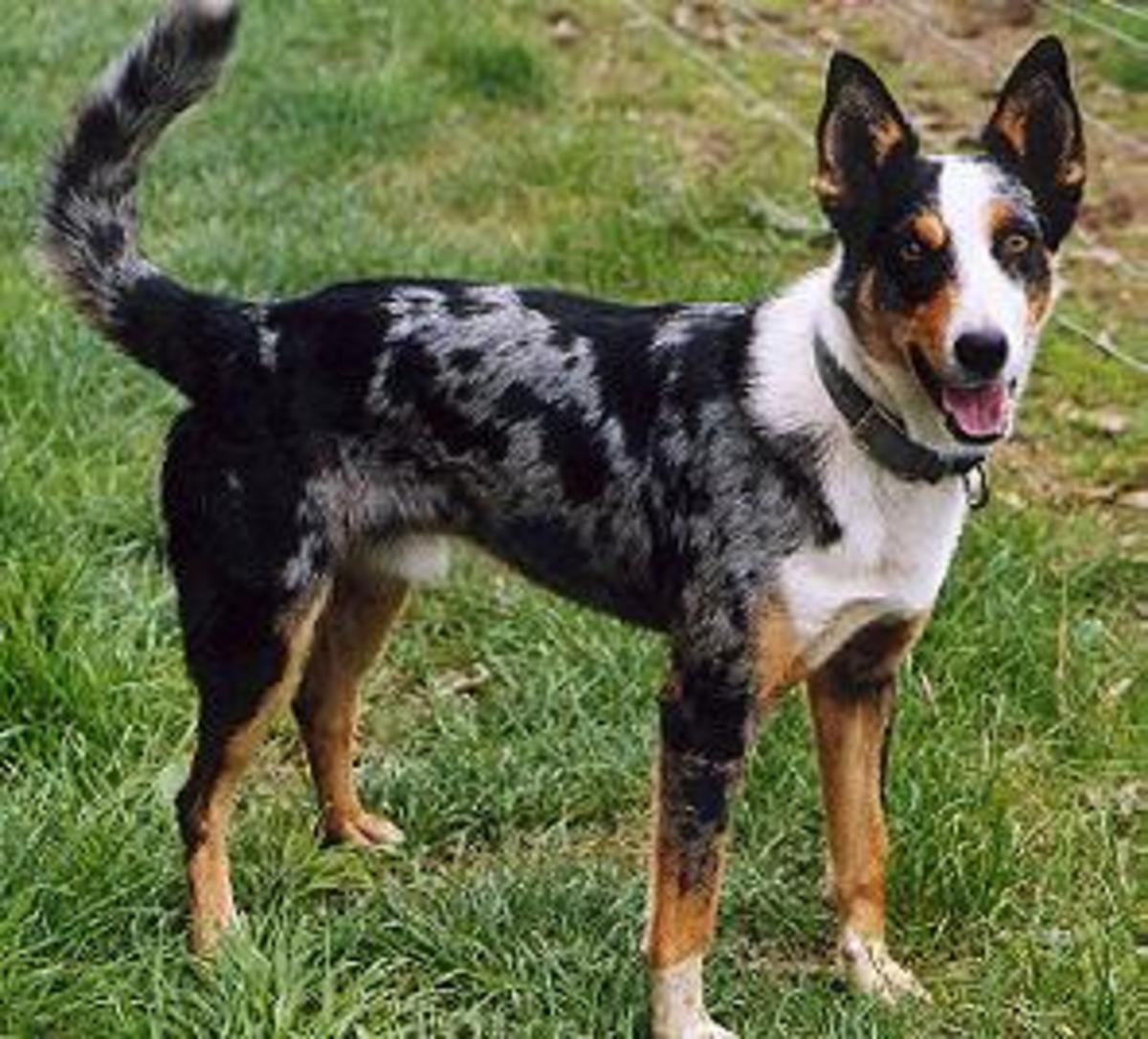 Koolies are an Australian dog breed with impressive health.