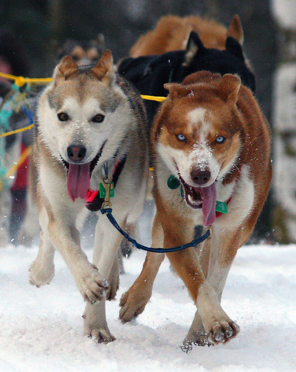 Siberian Huskies have been selected to be healthy.