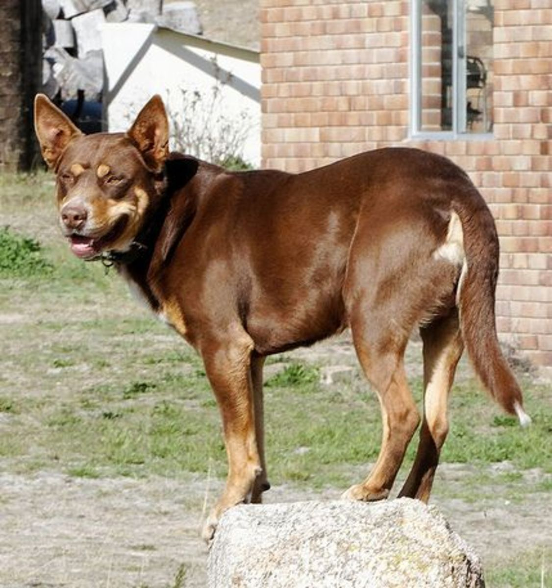 Kelpies are another healthy herding breed from Australia.
